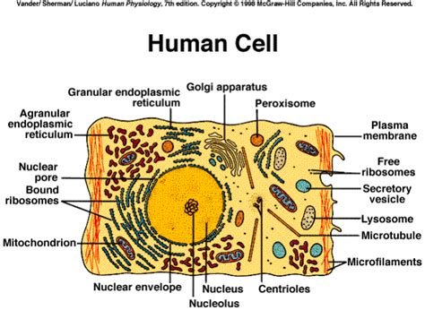 human cell labeled diagram ehumanbiofield cells hw