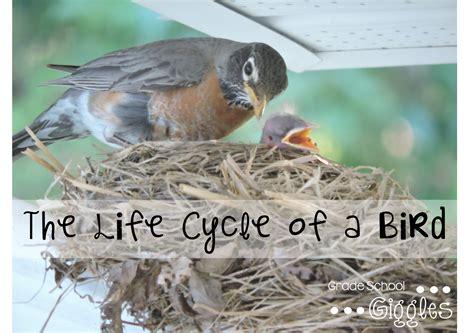 bird life cycle