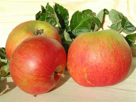 fruit tree supplies apple blenheim orange