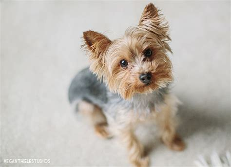 yorkie pics pin by kasey miller on yorkie