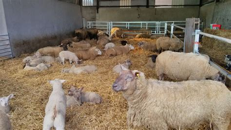 Sheep Sheds Ireland by Our New Sheep Shed Complete With Lambs Trean House