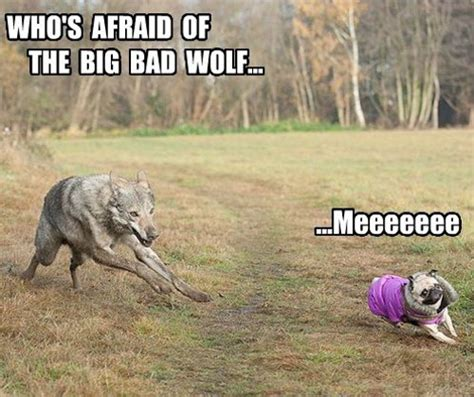 howling pug 15 pug memes that ll leave you howling with laughter ymbnews