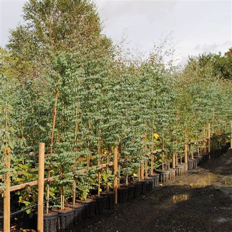 mail order tree eucalyptus gunnii cider gum tree mail order trees