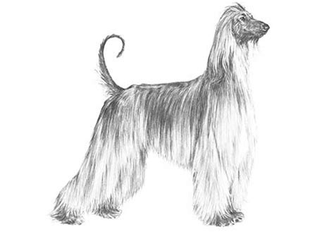 akc afghan hound puppies for sale winterberry afghan hounds afghan hound puppies for sale