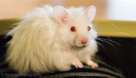 selling  month male long hair albino hamster gosport