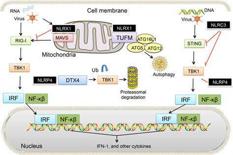 germline encoded pattern recognition receptors nlr mediated suppression of type i ifn signal