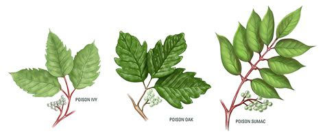 identify poison ivy leaves quiz identifying poison ivy oak and sumac recoil offgrid