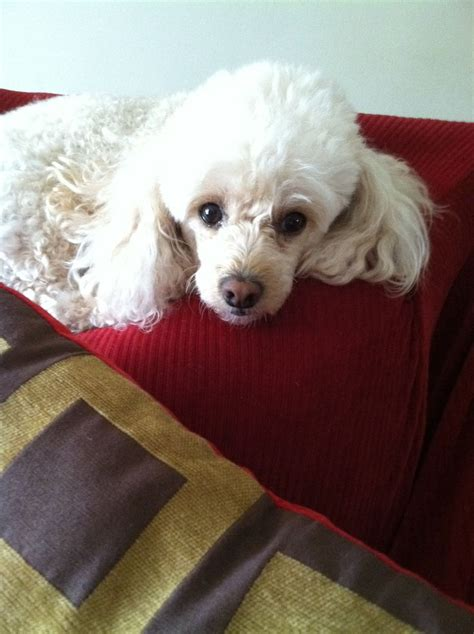 image of poodle hair cuts white miniature poodle haircuts www imgkid com the