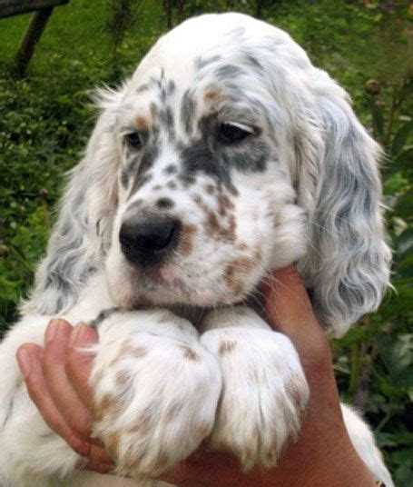 english setter dog for sale 3616 best images about perros on pinterest chow chow