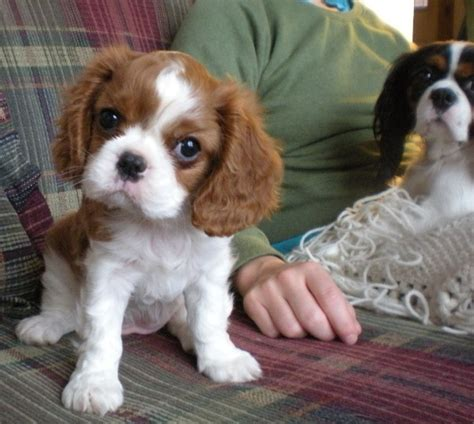 king cavalier puppy king charles cavalier puppies for sale