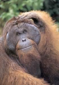 fotos de monos orangutan imagenes de orangutanes
