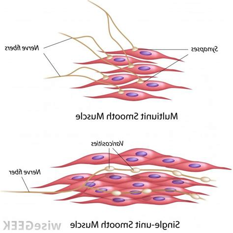 labelled diagram   muscle cell nude women fuck
