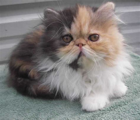 Dominant Calico Persian Kitten