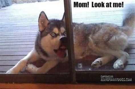 retarded puppy ahahaha i can imagine a this retarded husky