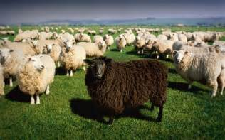 black sheep this or that remote workers don t have to be your team s black sheep