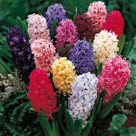 i fiori fiori giacinto fiori di piante i fiori giacinto