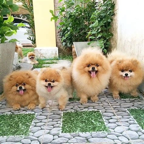 pomeranian family 3007 best images about precious pom s on