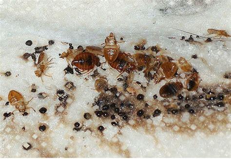 confirm  bed bug infestation
