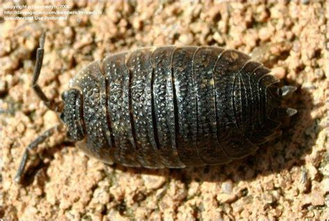 how to get rid of woodlice in my bathroom what are wood lice how long can they stay dormant before