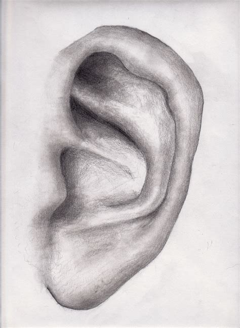 Drawing Ears by Pin Draw Human Ears Image Search Results On