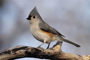 Attracting Backyard Birds Tufted Titmouse Song Of America Birdseed