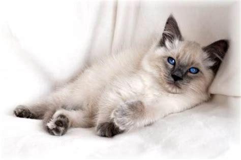 gatto siamese alimentazione gatto balinese prezzo alimentazione e allevamento