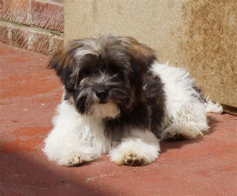 havanese seattle havanese puppies is a havanese puppy for sale in seattle wa breeds picture