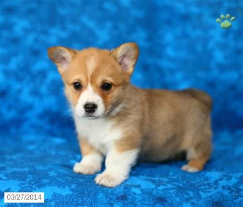 Best 25 Corgi Puppies For Sale Ideas On