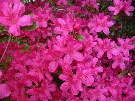 Arbuste A Fleur 762 by Arbuste A Fleur Sur Tige Id 233 E D Image De Fleur