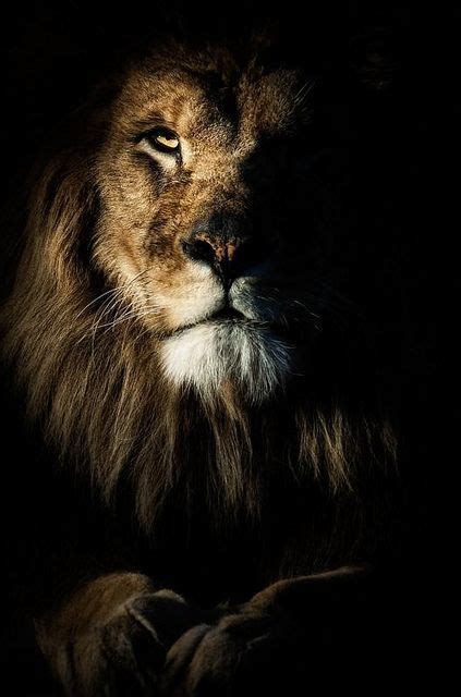 Film With A Black Lion | 64 best l i o n p e u g e o t images on pinterest