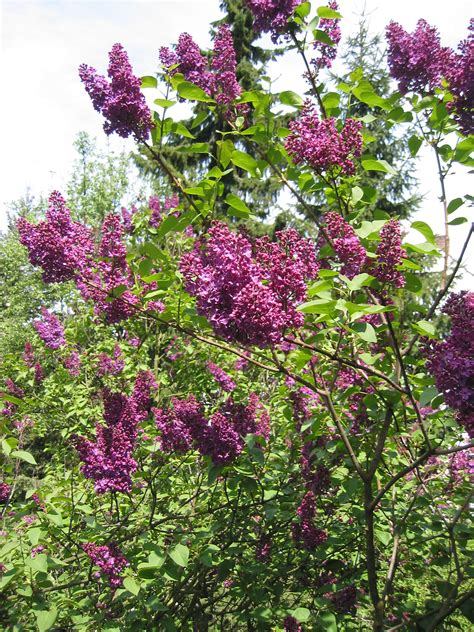 lilac bush syringa vulgaris common lilac