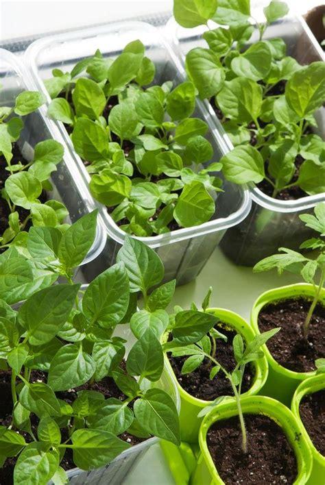 ideas  growing vegetables indoors indoor vegetable