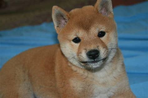 shiba inu puppy rescue shiba inu shiba inu purebred dogs and puppies breeds picture