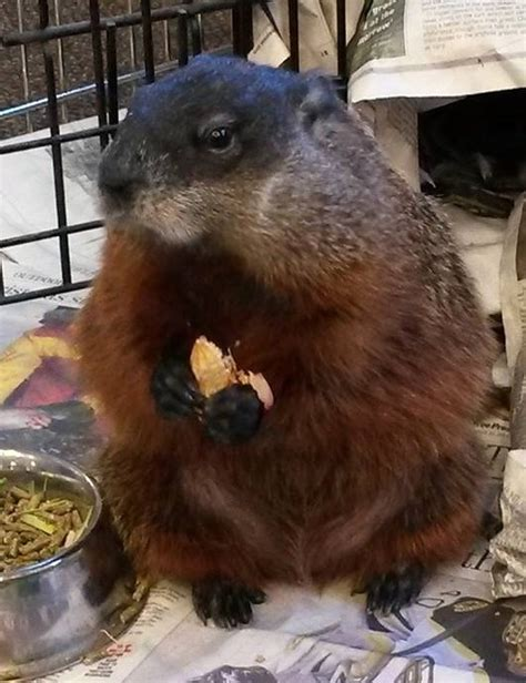 manitoba groundhogs call for an early spring chrisd ca