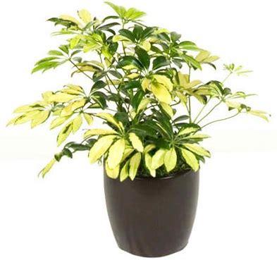 Tanaman Hias Variegata tanaman walisongo variegata bibitbunga