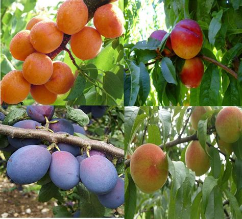 fruit trees fruit tree chill hours evergreen nursery