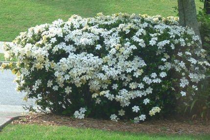 gardenia pianta da giardino s di siepe e sempreverdi piante da vaso e per piccoli
