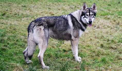 cat puppies northern inuit all big breeds