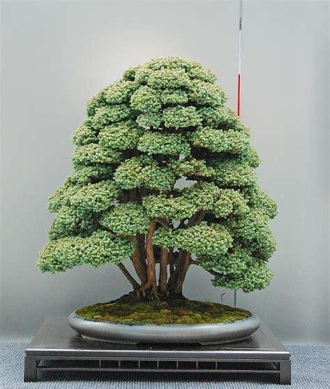 indoor bonsai kaufen the ancient japanese of bonsai creates a miniature