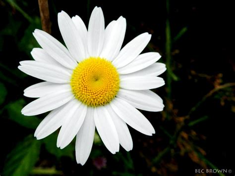 flower picture daisy flower 3 black and white daisy flower 3 clouds of colour