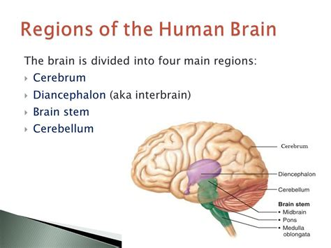 what are the four main sections of the orchestra brain structure and function ppt video online download