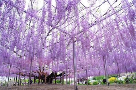 ashikaga flower park the most gorgeous wisteria tree in japan fubiz media