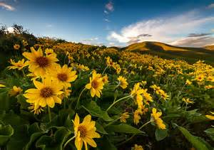 yellow balsomroot wildflower hillside clint losee photography