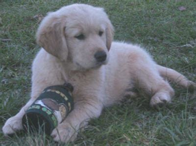 golden retrievers for sale australia golden retriever puppies are for sale in australia with pups for sale breeds picture