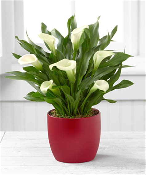 Calla Planter by Calla Plant For The Holidays Discount Plants