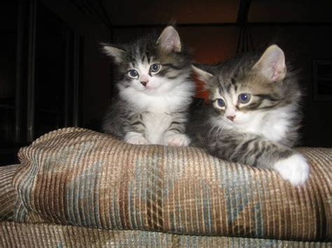adoption milwaukee beautiful maine coon mix kittens for sale adoption from eagle wisconsin milwaukee