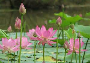 Lotus Pond In And Threads And More The Lotus