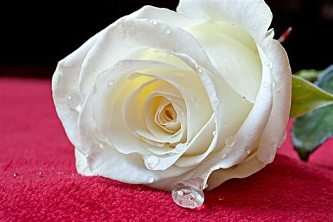 wallpaper flower white rose love beautiful white roses wallpapers photos flowers images