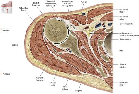 Transverse Cross Section by Neurovasculature Atlas Of Anatomy
