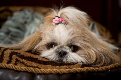 what were shih tzu bred for shih tzu breed history and health